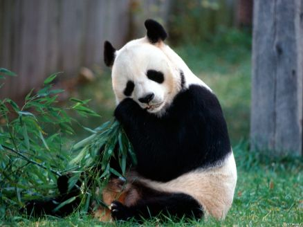 Baby Panda Wallpaper HD