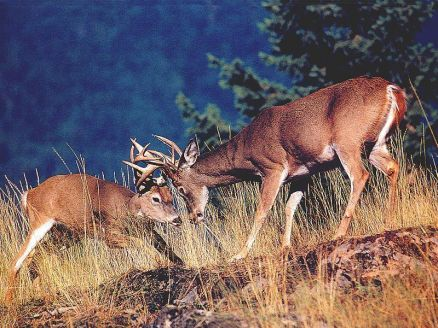 Images Of Big Deer