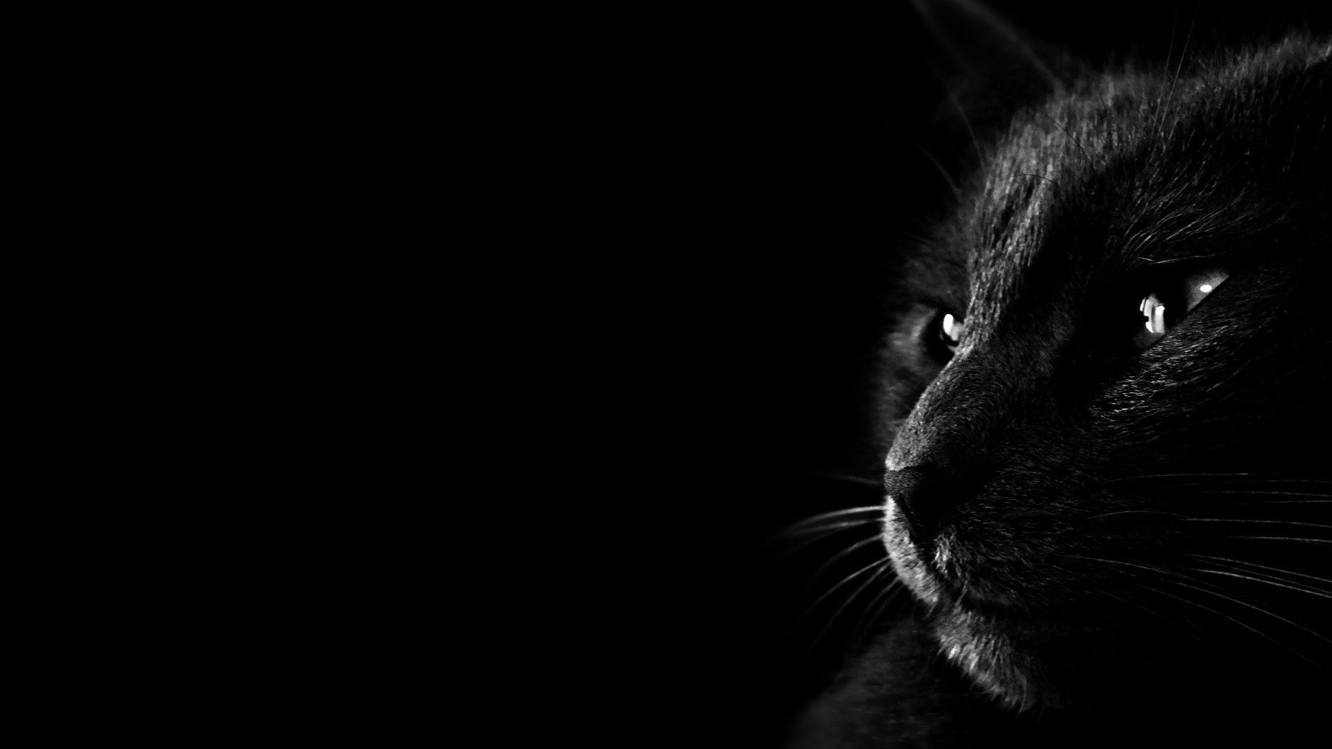 black cat pics