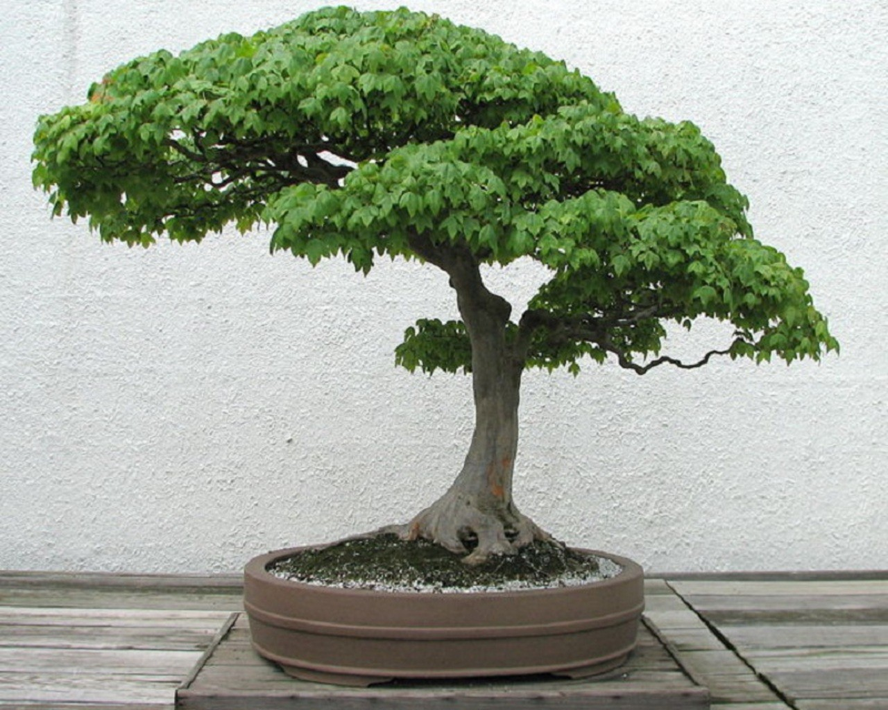 bonsai-tree-wallpaper