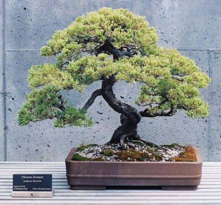 Bonsai Tree Wallpapers