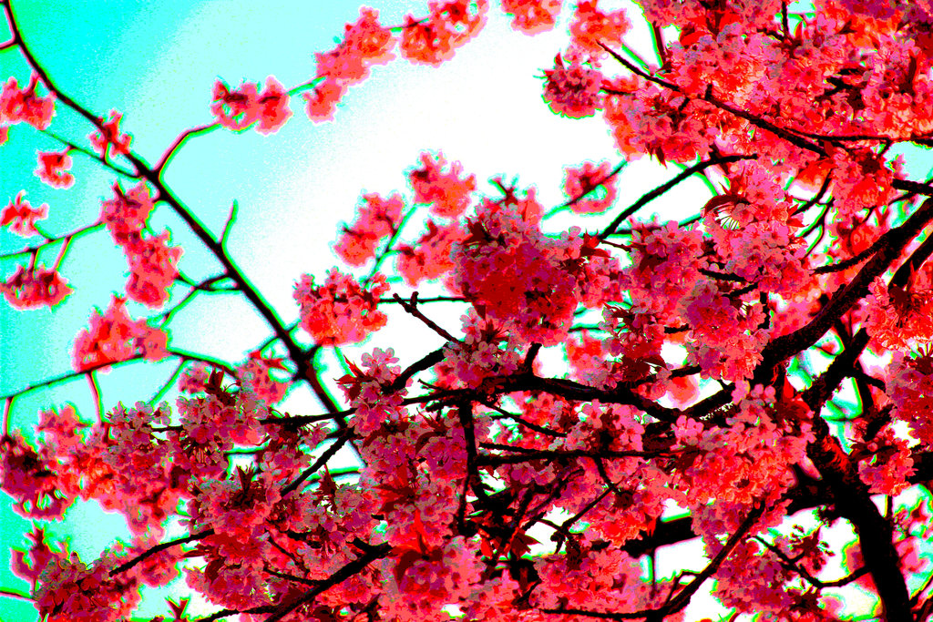 Photo Collection Red Cherry Blossom Wallpaper