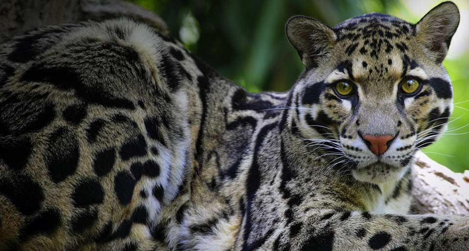 clouded-leopard-wallpaper