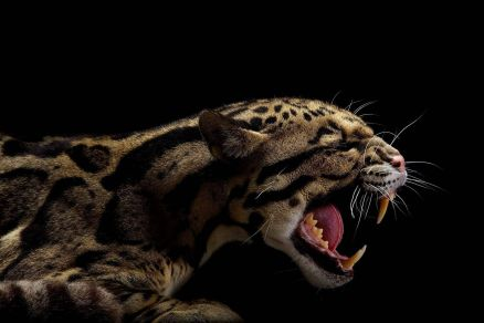 Clouded Leopard Wallpaper