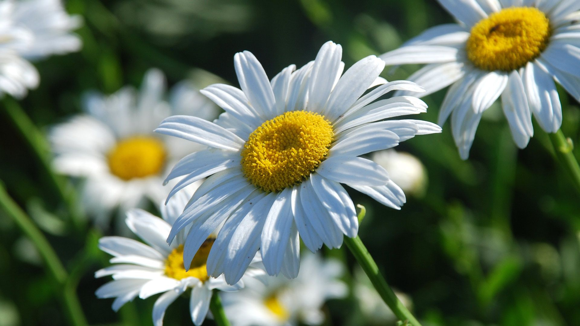 daisy-flower-wallpapers