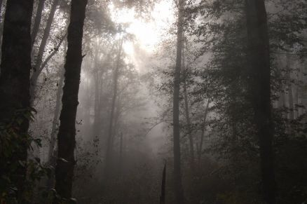 Wallpaper Foggy Forest