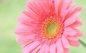Gerbera Daisy Wallpapers