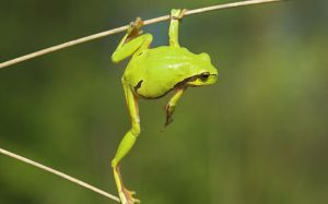 Green Frog Picture