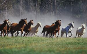 Horses Running Wallpaper