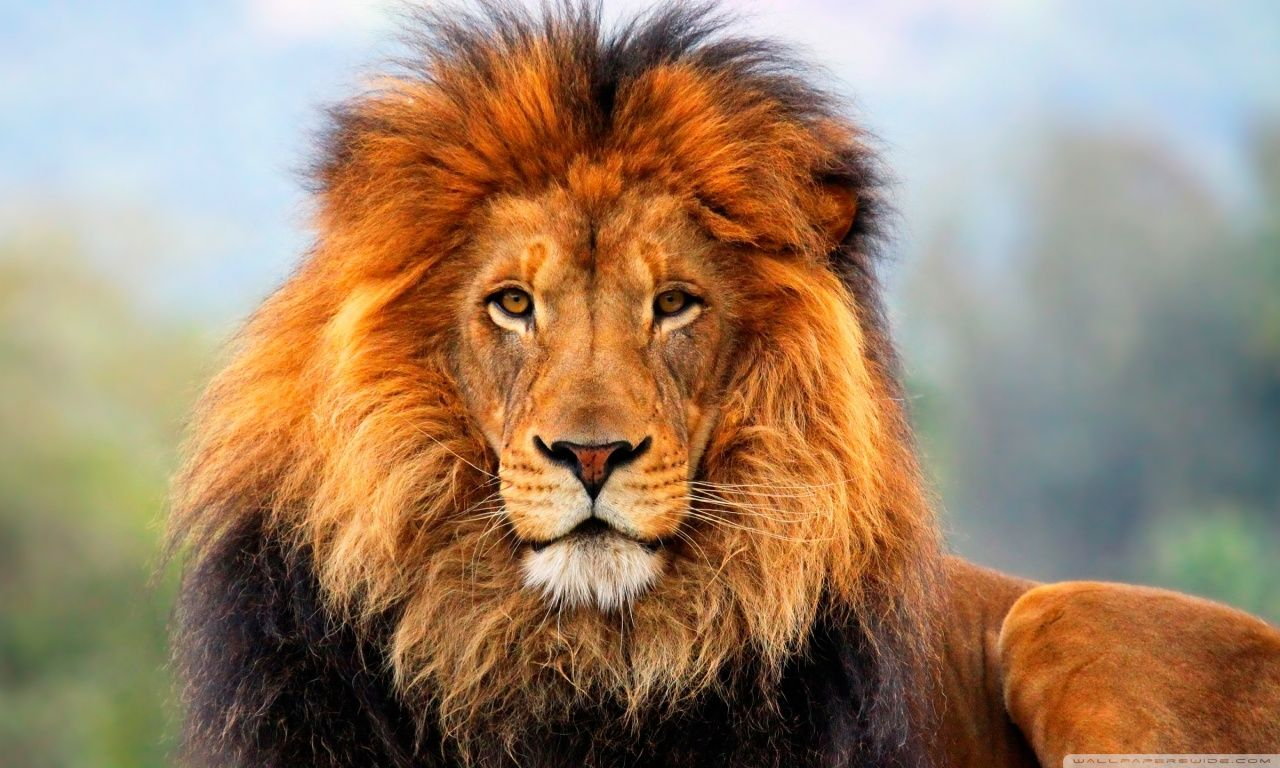 lion-wallpapers-download