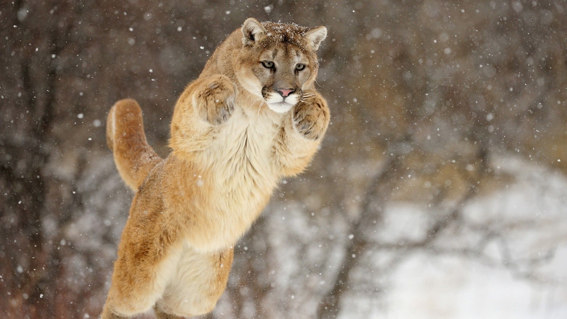Mountain Lion Photo Free Download By Perceval Cluett