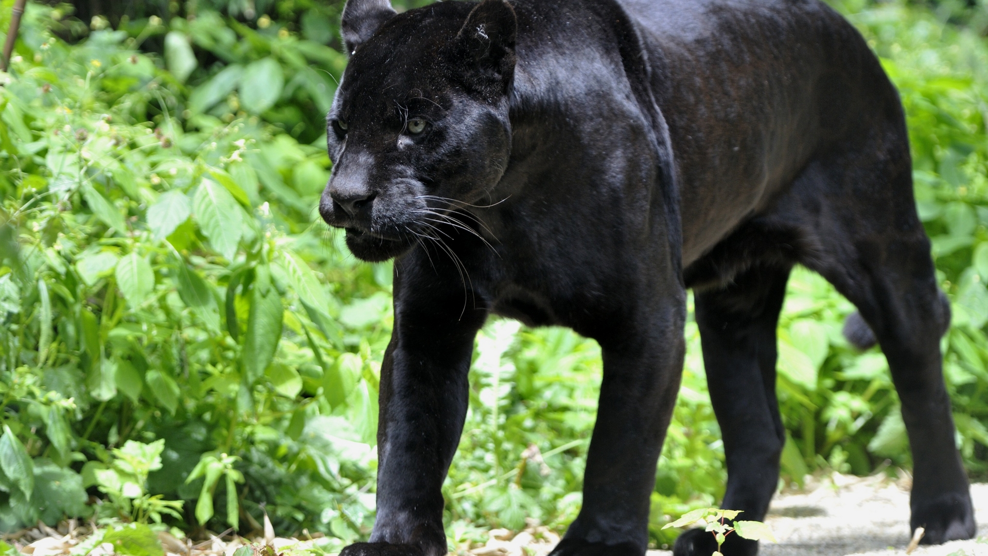 Что связано с пантерой