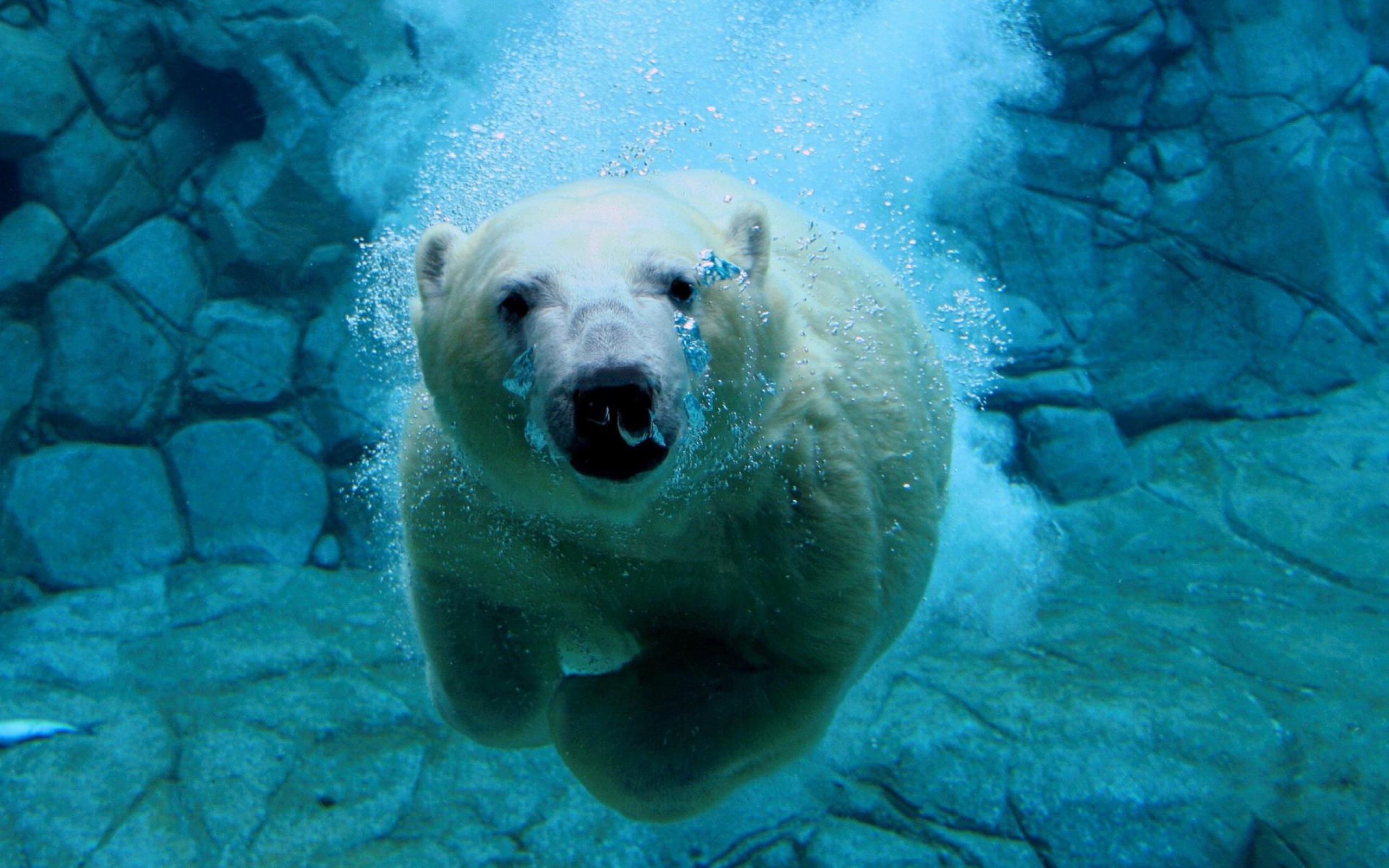 Polar bears animal high polar bear the canadian encyclopedia sciox Choice Image