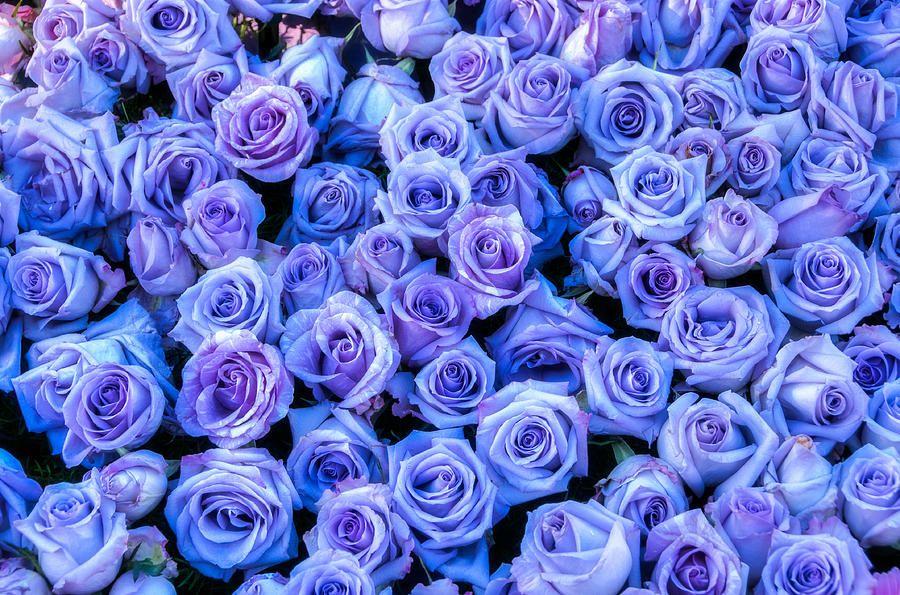 Purple Roses Wallpaper Tumblr