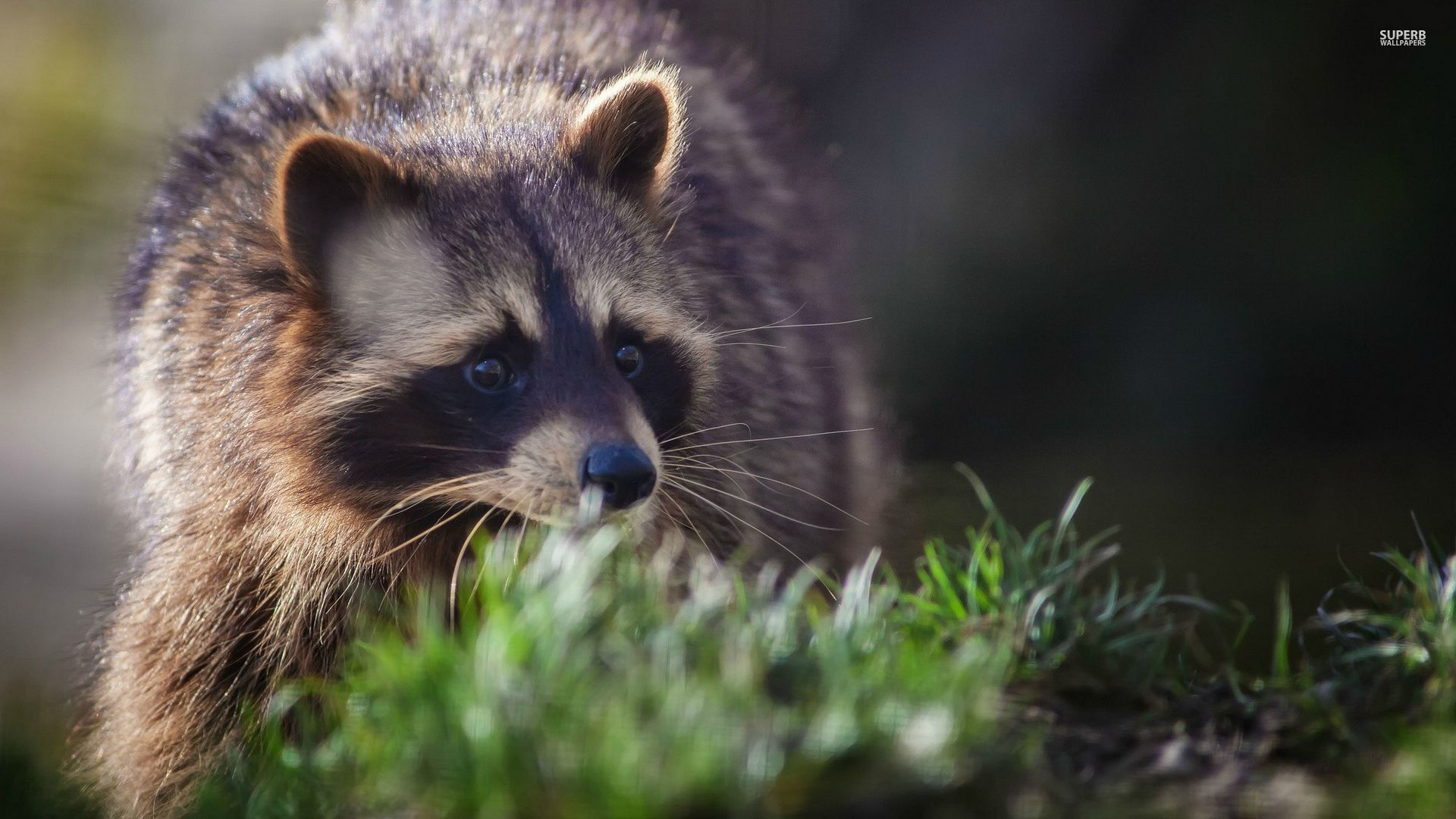 hd - raccoon - new raccoon wallpapers