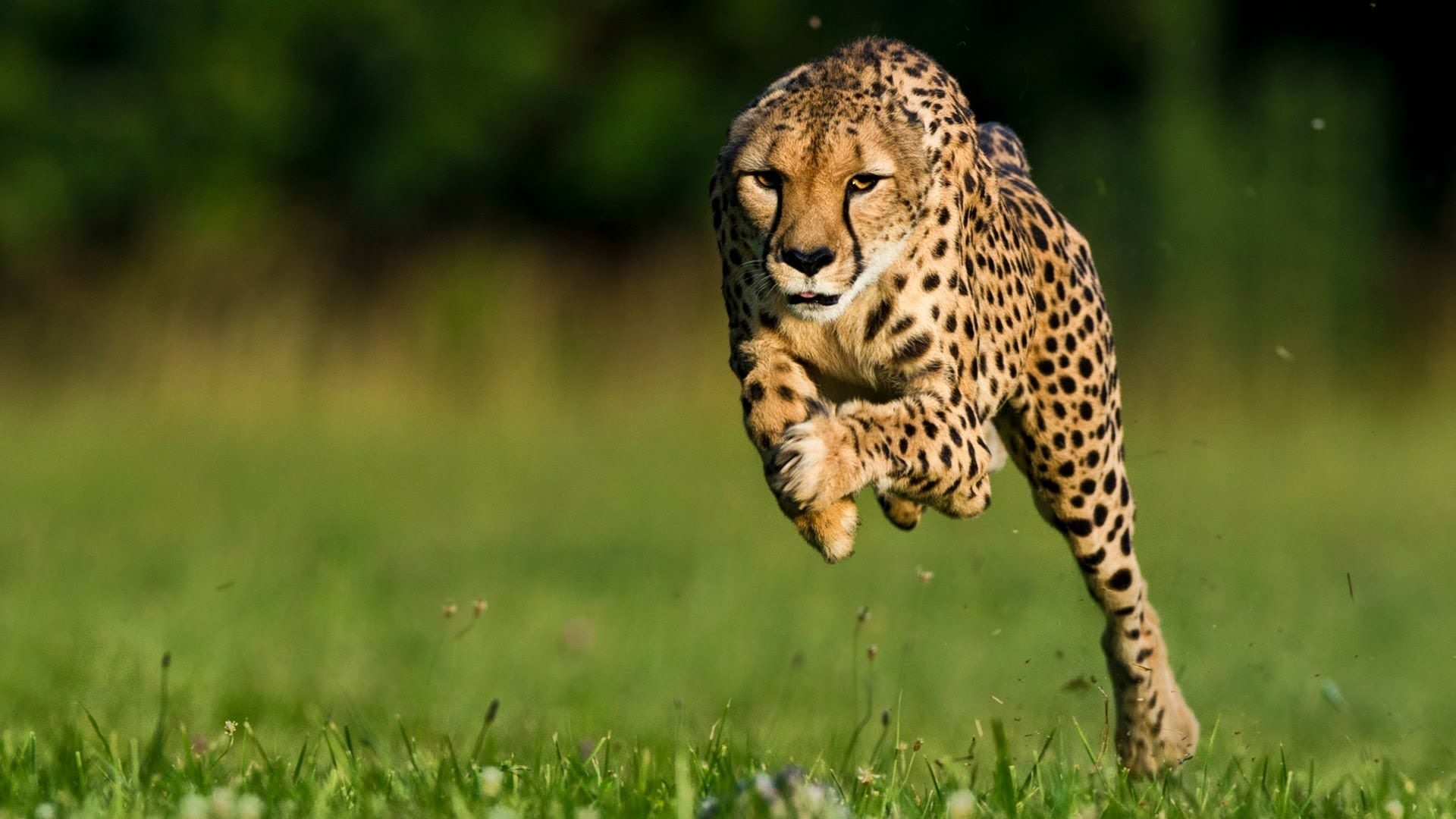 Top Running Cheetah Wallpapers In High Quality GOLDWALL