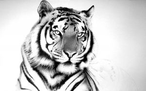 Wallpaper Tiger White