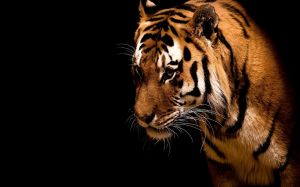 Animals Tiger
