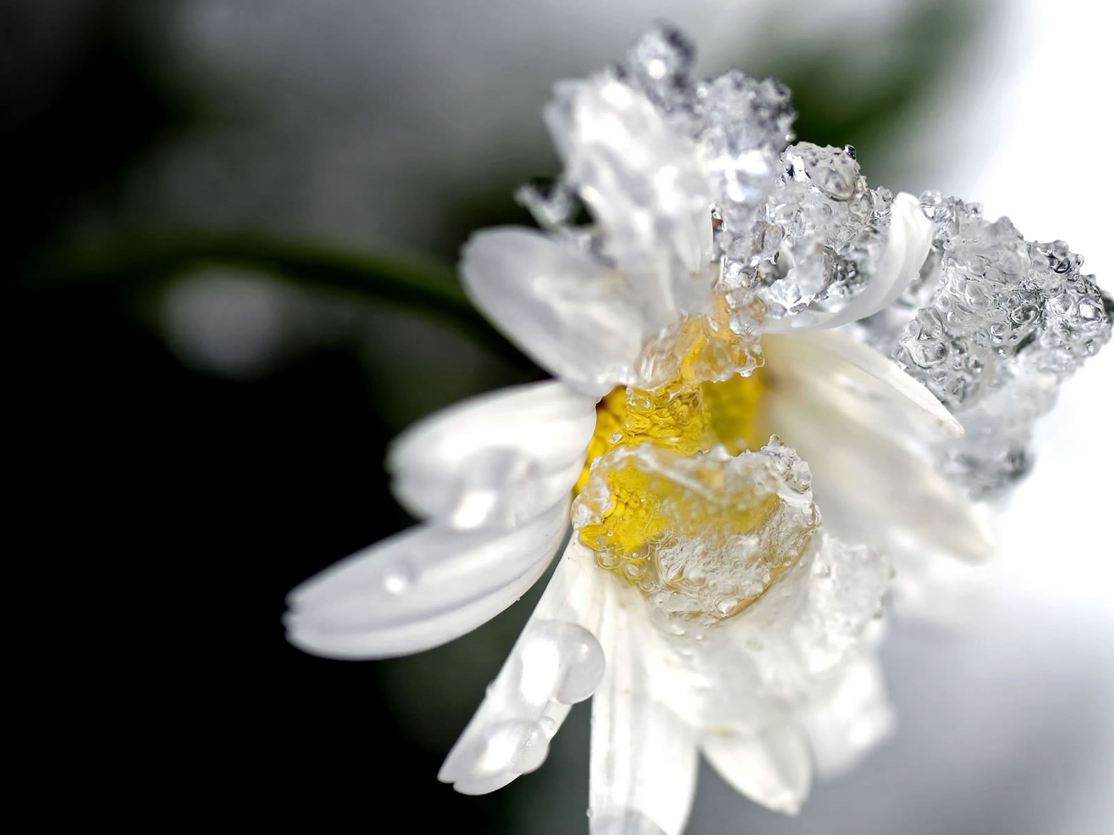 high quality images collection of winter flower iago kiley, Beautiful flower