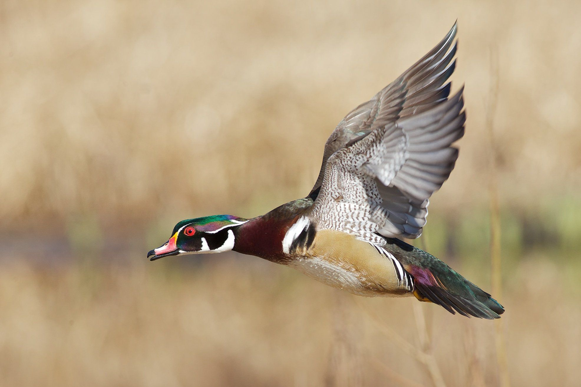 PC Wood Duck Wallpapers Roxelana Champley