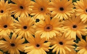 Yellow Flower Images
