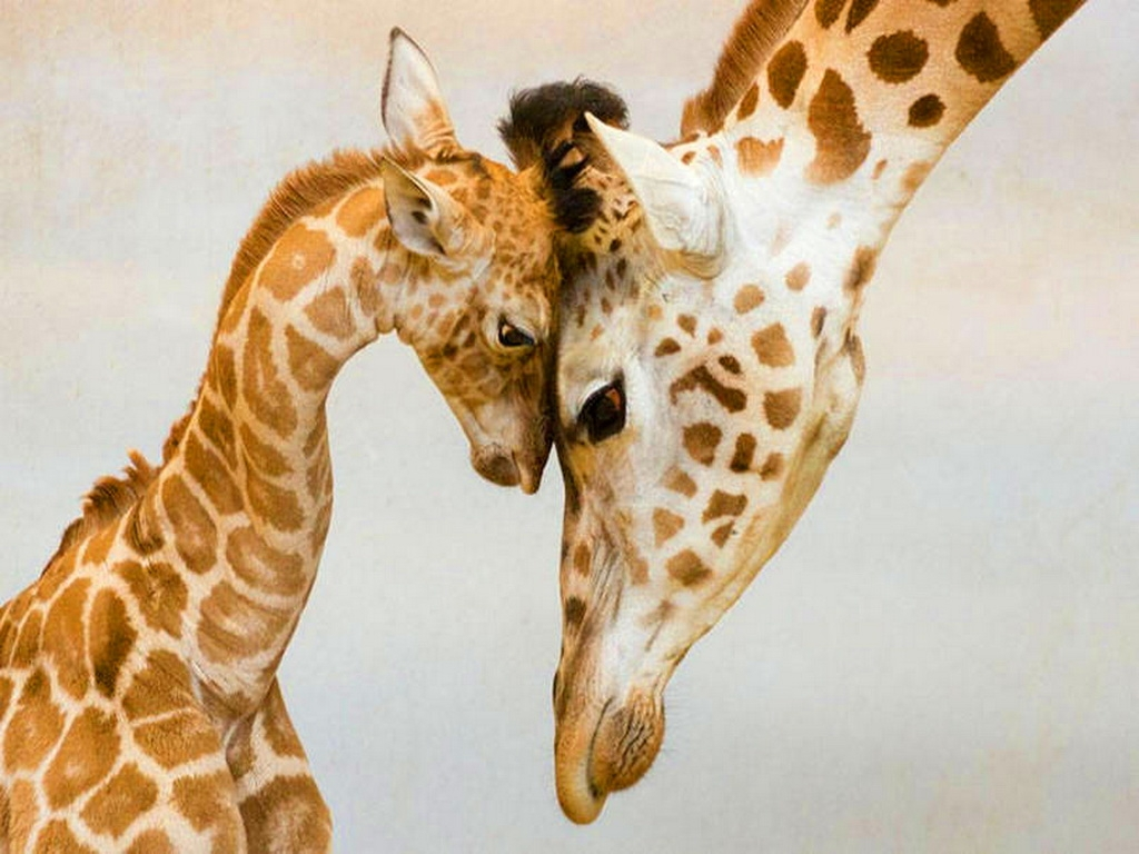 Baby Giraffe HD Widescreen Wallpapers For Free