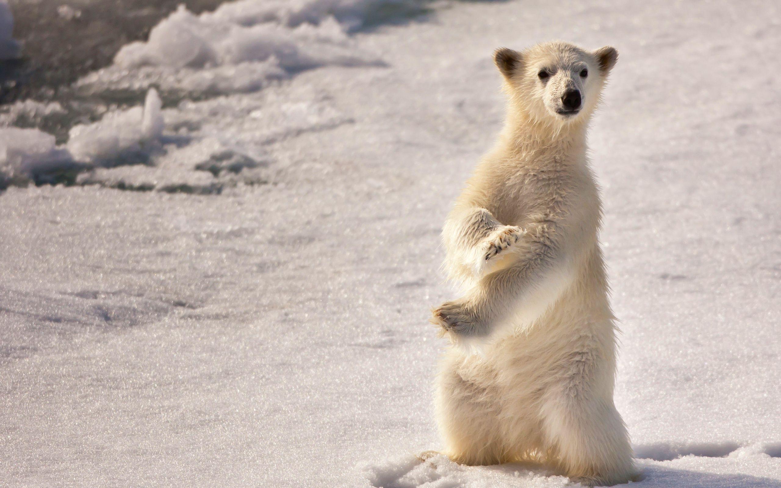 Hdq Baby Polar Bear By Volodymyr Greber