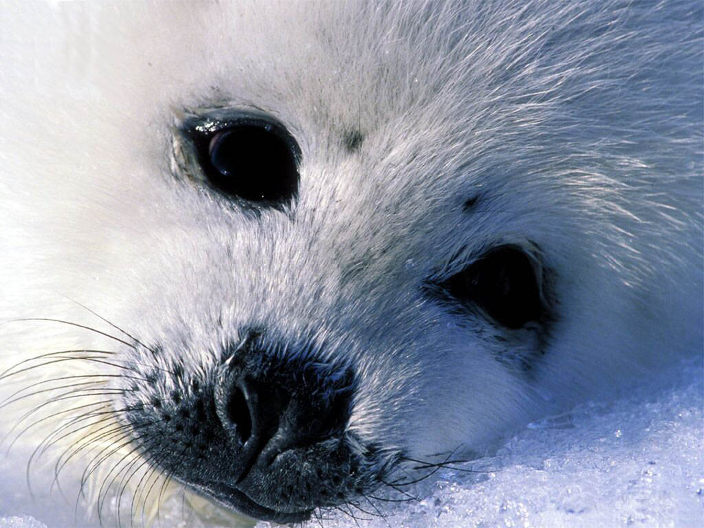 baby-seal-wallpaper