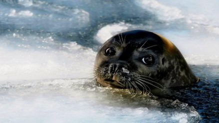 Baby Seal Wallpaper