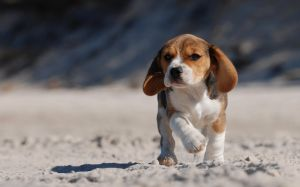 Pictures Of Beagle Puppy