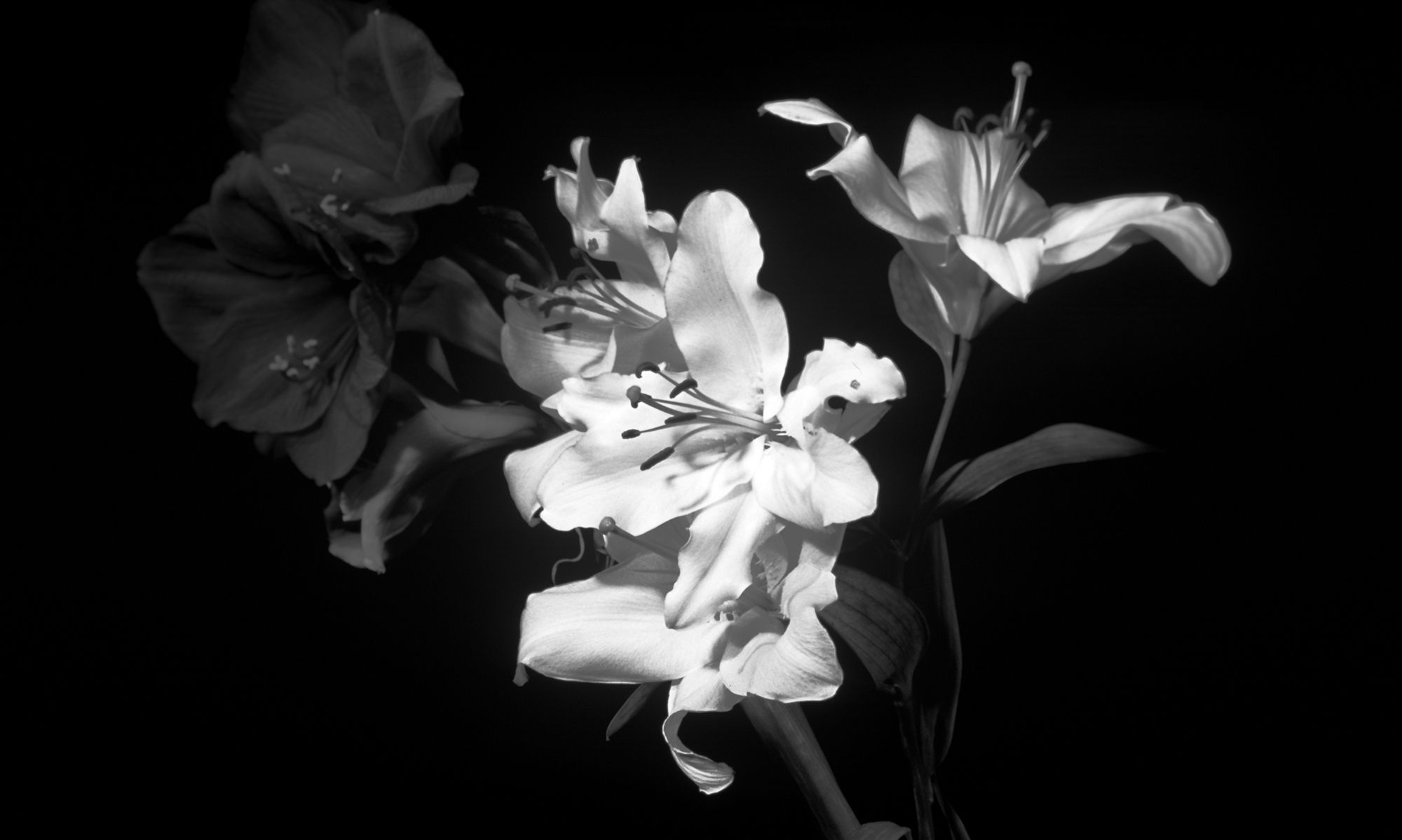 black-and-white-flowers-wallpaper