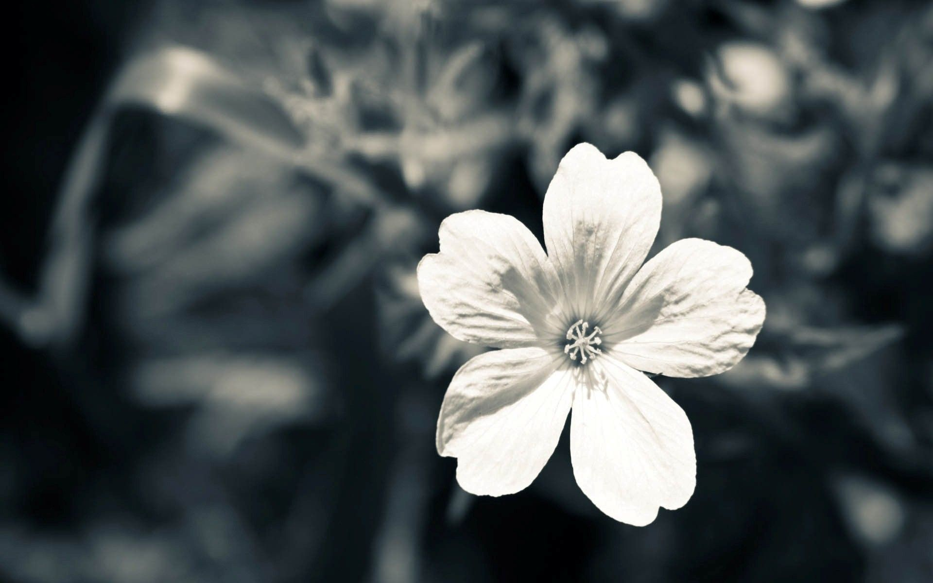 Black And White Flowers Wallpapers Hdq Wallpapers