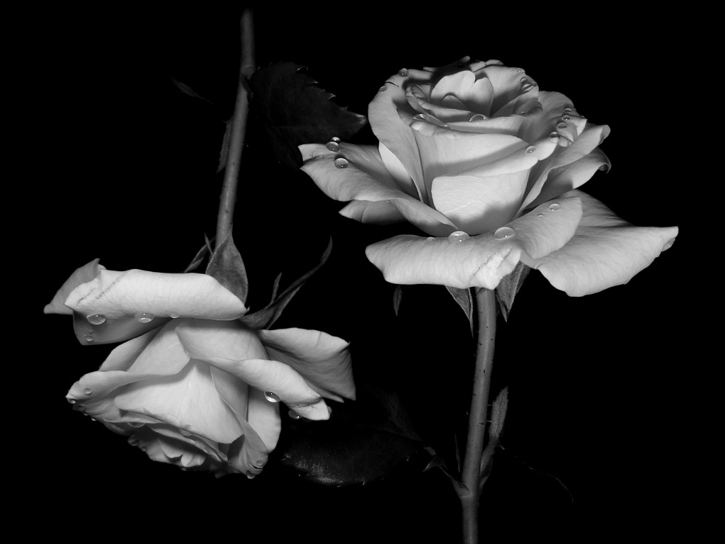 Nice Black And White Rose Images Wallpapers Elisa Benge