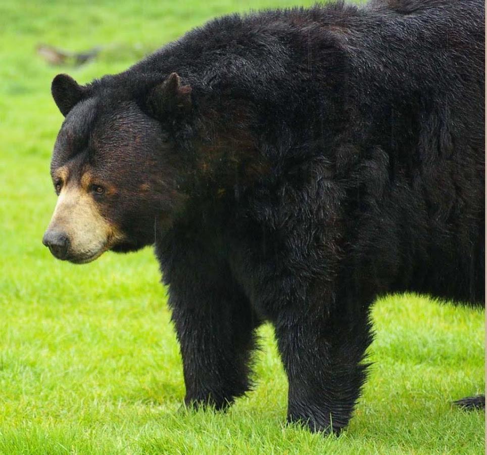 Hd Quality Black Bear By Poldi Banford