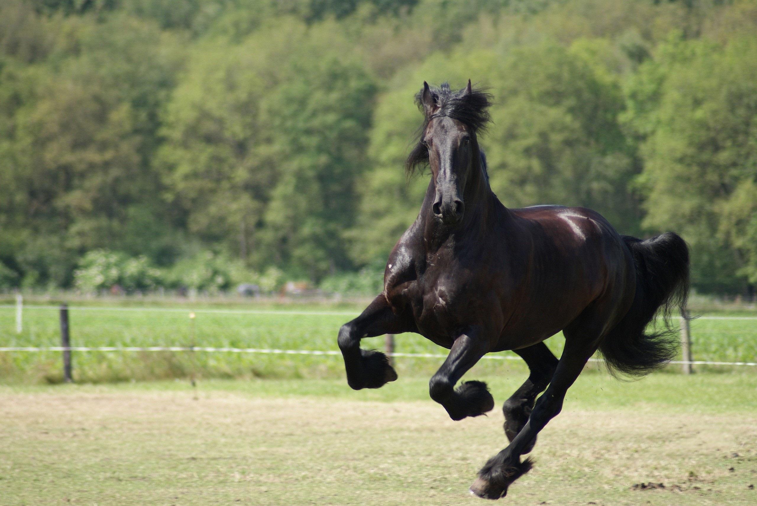 Free Nice Black Horse Wallpaper