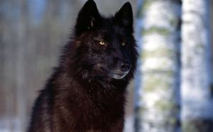 Black Wolf Wallpaper