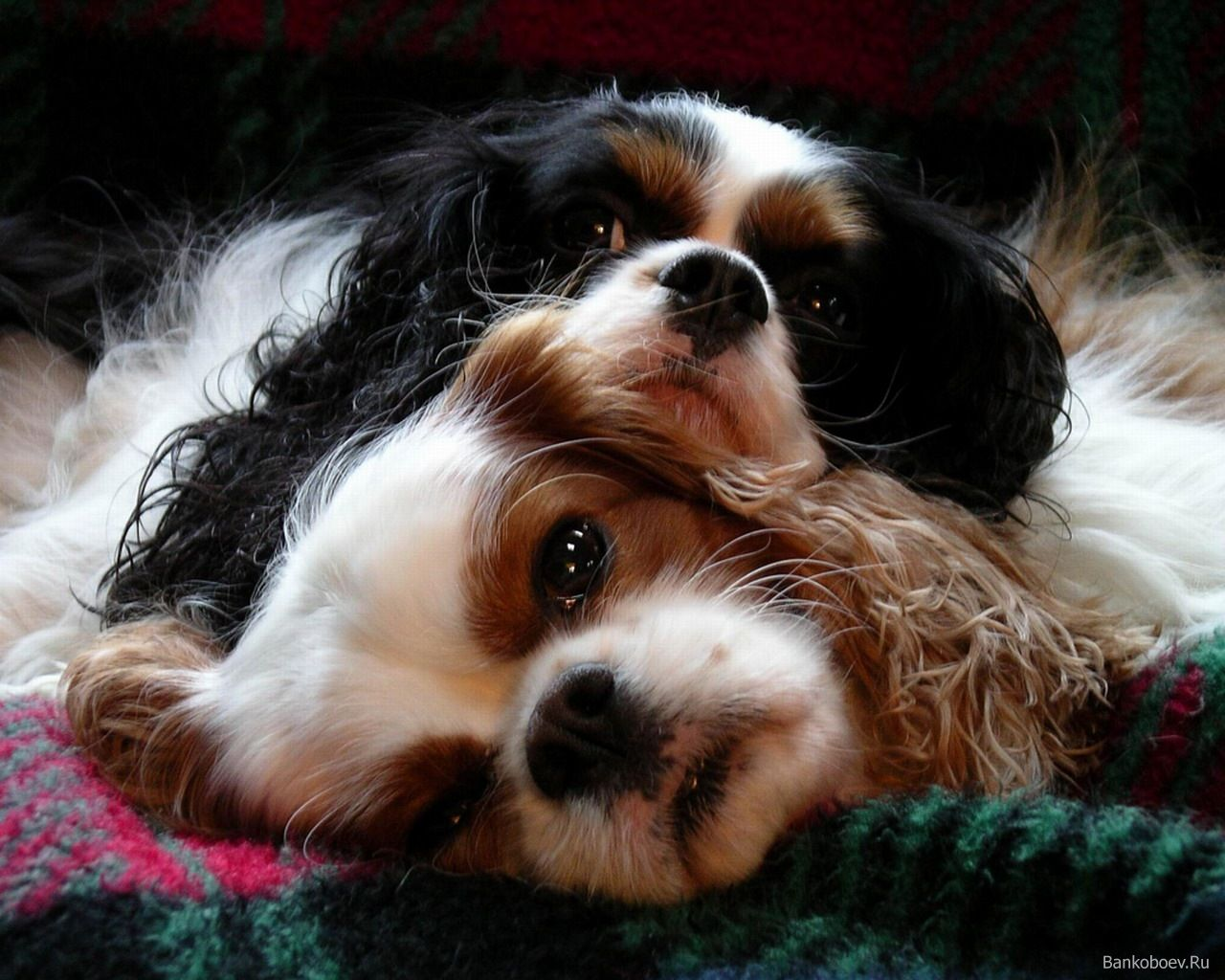 Mobile Cavalier King Charles Spaniel Pictures Fhdq