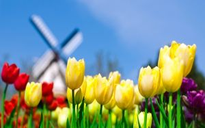 Colorful Tulips Wallpaper