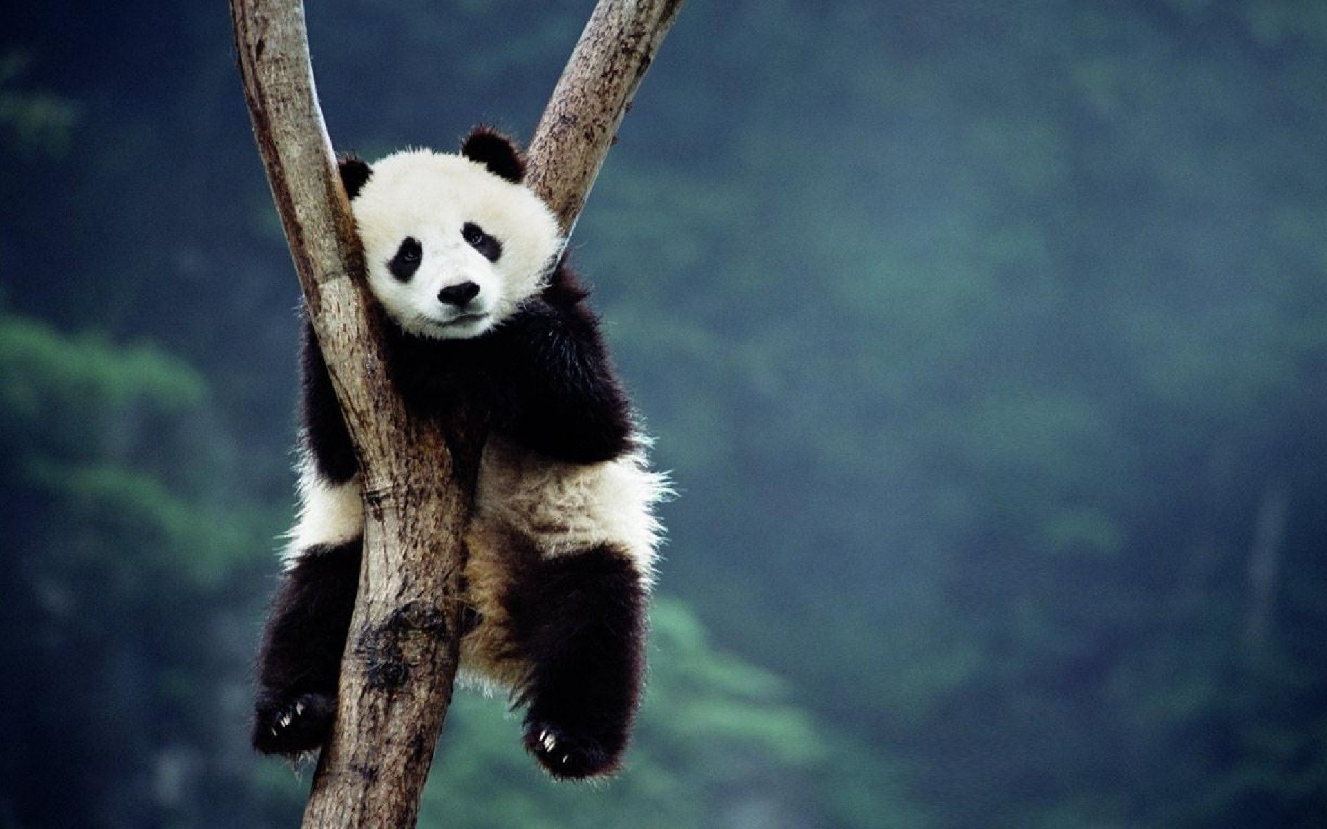 Baby Panda Hd Picture 597296910 Lawson Martinovic