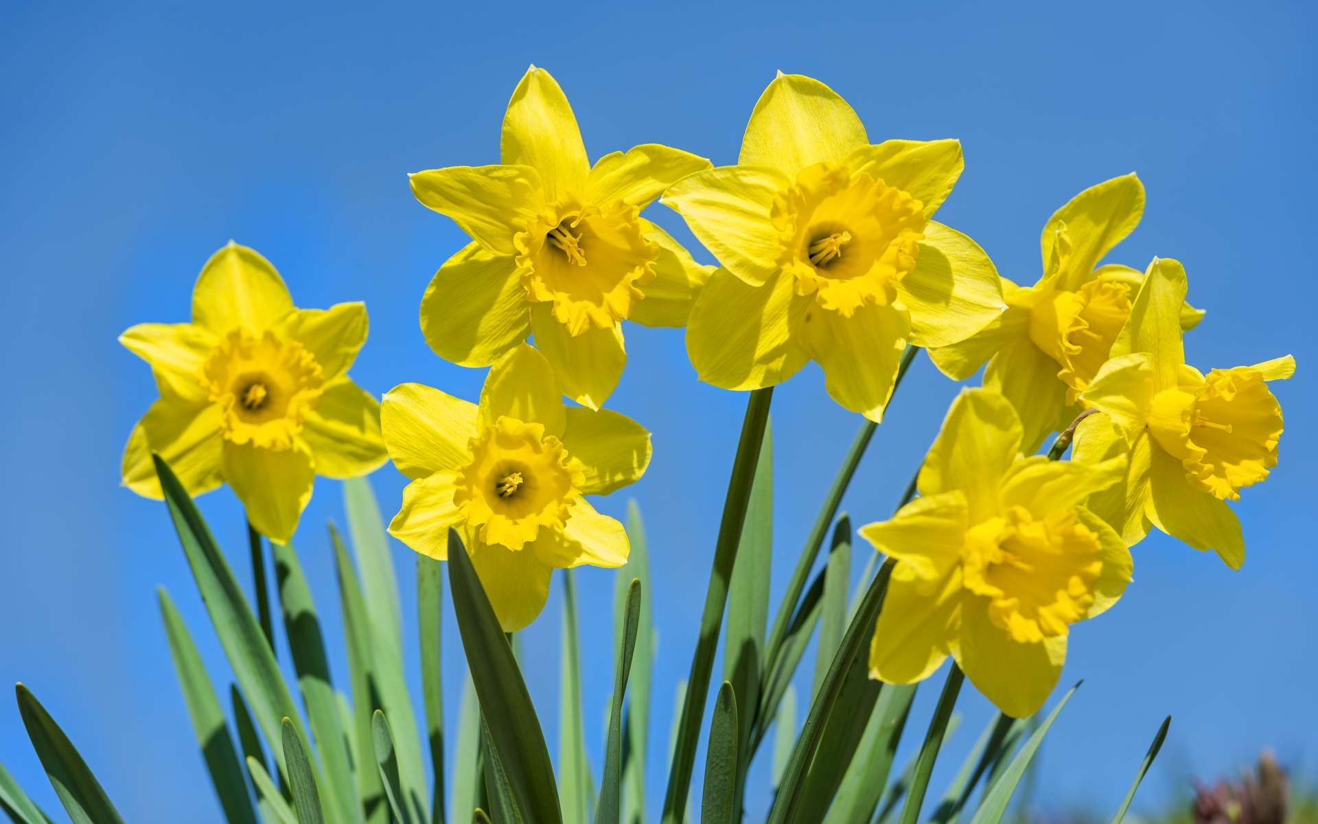 cool daffodil photos and pictures, daffodil high quality wallpapers