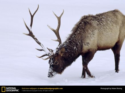 Wallpaper Elk