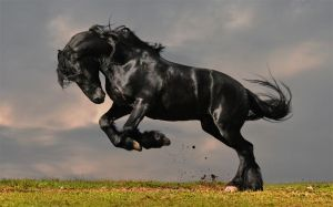 Friesian Horse Photos