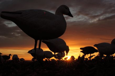Goose Hunting Photos