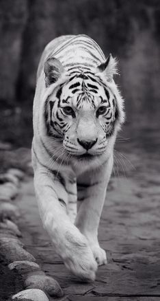 Image King Tiger