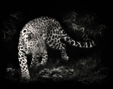 Pictures Of Leopard