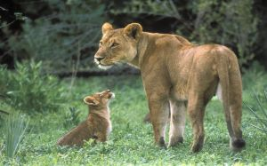 Lion Baby Pic