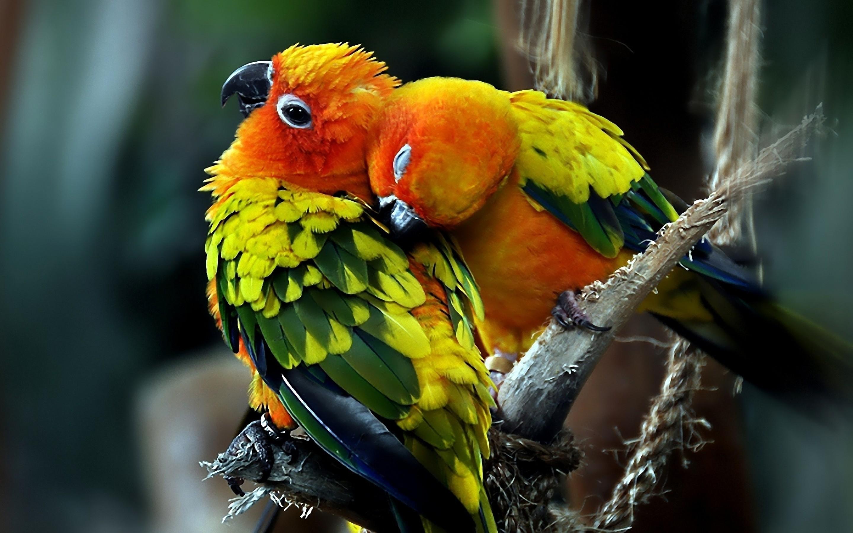 widescreen wallpapers of love bird, newest wallpaper