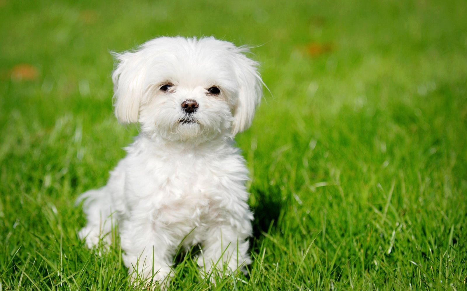 maltese-puppy-wallpaper