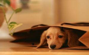 Miniature Dachshund Wallpaper