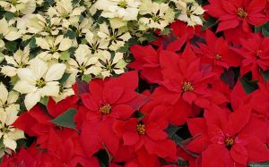 Poinsettia Photos